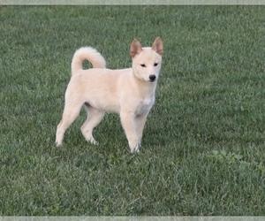 Shiba Inu Puppy for sale in SHILOH, OH, USA