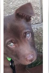 Labrador Retriever-Siberian Husky Mix Dog For Adoption in SAINT LOUIS, MO