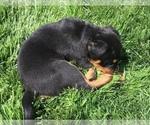 Small #36 Rottweiler