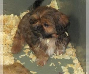 Shih Tzu Puppy for Sale in CARROLLTON, Georgia USA