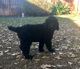 Labradoodle Puppy For Sale in ARLINGTON, TX, USA