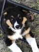 Australian Shepherd Puppy For Sale in WILLISTON, Florida,