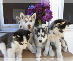 Siberian Husky Puppy for sale in KOKOMO, IN, USA