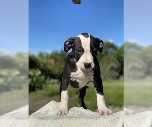 American Staffordshire Terrier Puppy for sale in MIMS, FL, USA