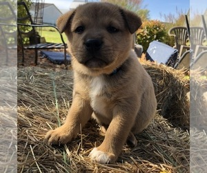 Border Collie Shiba Inu Mix Puppy