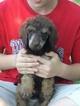 Poodle (Standard) Puppy For Sale in HOISINGTON, KS