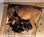 Small Photo #2 Belgian Malinois Puppy For Sale in LABADIE, MO, USA