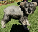 Schnauzer (Miniature) Puppy For Sale in BELMONT, CA, USA