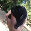 Labrador Retriever Puppy For Sale in LACEY, WA, USA