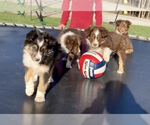 Miniature Australian Shepherd Dog for Adoption in NEW WASHINGTN, Indiana USA