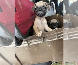 Pug Puppy for sale in STKN, CA, USA