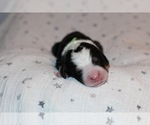 Puppy 11 Bernedoodle