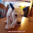 Small Photo #145 Dogo Argentino Puppy For Sale in PINEVILLE, MO, USA