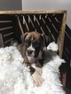 Boxer Puppy For Sale in MILLERSBURG, OH, USA
