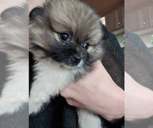 Pomeranian Puppy for sale in SPENCER, TN, USA