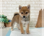 Small Photo #1 Shiba Inu Puppy For Sale in SEATTLE, WA, USA