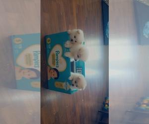 Pomeranian Dog for Adoption in STKN, California USA