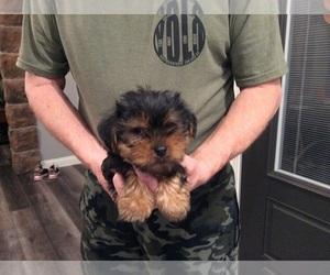 Yorkshire Terrier Dog for Adoption in MARIA STEIN, Ohio USA