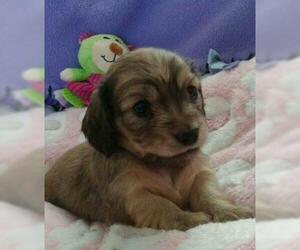 Dachshund Puppy for sale in NORTHGLENN, CO, USA