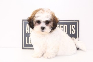 Shih-Poo Puppy For Sale in NAPLES, FL