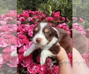 Miniature Australian Shepherd Puppy for sale in VANCOUVER, WA, USA