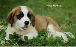 Saint Bernard Puppy for sale in POWELL, TN, USA
