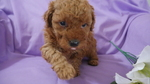 Poodle (Miniature) Puppy For Sale in KENSINGTON, OH, USA