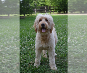 Goldendoodle Dog for Adoption in BOISE, Idaho USA
