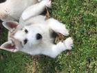 Siberian Husky Puppy For Sale in JOPLIN, MO