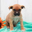 Boerboel Puppy For Sale in GAP, PA, USA