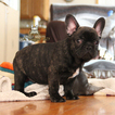 Brindle French Bulldog Male Puppy For Sale