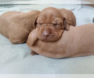 Vizsla Puppy for Sale in RAMONA, California USA