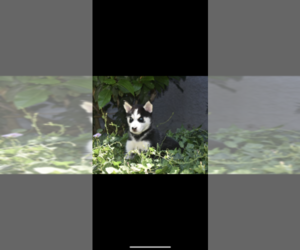 Siberian Husky Puppy for sale in COSTA MESA, CA, USA