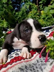 Great Dane Puppy For Sale in WILLIAMSBURG, VA
