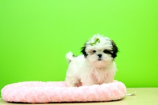 View Ad Shih Tzu Puppy For Sale Near Ohio Portsmouth Usa Adn 27103