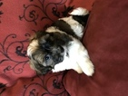 Havanese Puppy For Sale in LAKE ORION, MI, USA