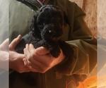 Puppy 3 Aussiedoodle