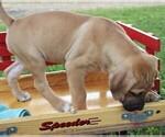 Small Photo #3 Cane Corso-Labrador Retriever Mix Puppy For Sale in CHARLOTT HALL, MD, USA