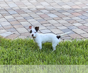 Chihuahua Puppy for sale in FORT MYERS, FL, USA