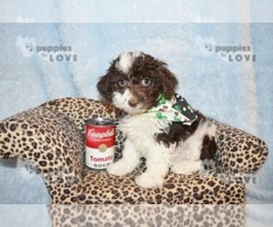 Australian Shepherd-Poodle (Toy) Mix Puppy for sale in SANGER, TX, USA