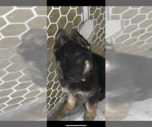 German Shepherd Dog Puppy for sale in FOUNTAIN, CO, USA