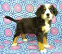 Bernese Mountain Dog-Greater Swiss Mountain Dog Mix Puppy For Sale in RIVERSIDE, IA