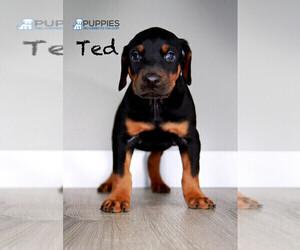 Doberman Pinscher Puppy for Sale in CORNING, California USA