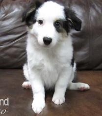 Australian Shepherd Puppy for Sale in MIDLOTHIAN, Texas USA