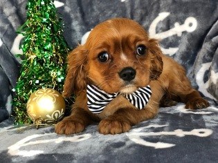 Cavalier King Charles Spaniel Puppy for sale in CEDAR LANE, PA, USA