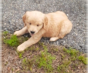 Golden Retriever Puppy for sale in SALEM, MA, USA