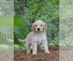 View Ad Goldendoodle Puppy For Sale Near New Jersey Berlin