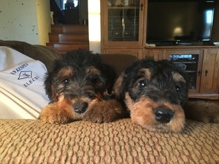 Airedale Terrier Puppy For Sale in ALLENDALE, MI