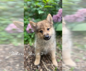 Finnish Spitz-Keeshond Mix Puppy for sale in MONCLOVA, OH, USA