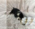 Puppy 5 Bordernese